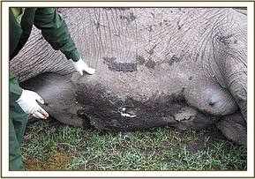 The elephant had numerous wounds on the ventral side of the abdomen