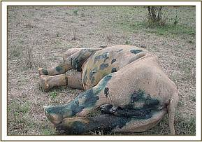 The rhinos wounds after they are cleaned and treated