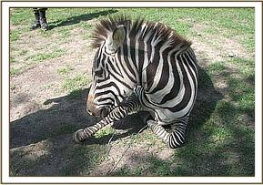 The snare was around the zebra's neck