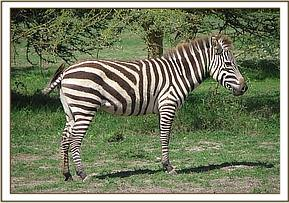 The zebra after treatment