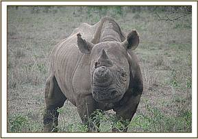 The rhino soon after treatment