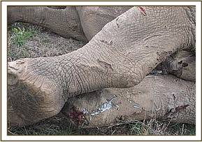 The rhino had numerous injuries on its legs