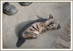 The little stripped hyaena cub
