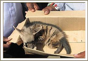 The rescued stripped hyaena cub