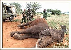 The elephant is darted for treatment