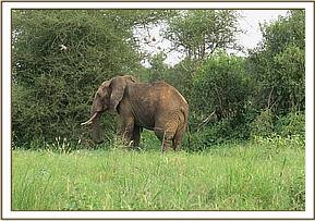 This elephant is seen limping with a swollen leg