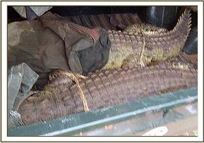 The crocodiles are safely transported to the park