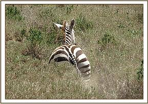 After the snare is removed the Zebra gallops away
