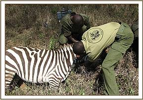 Dr. Dominic Otieno the DSWT veterinary officer succonded by KWS treating the Zebra