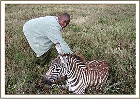 The young Zebra after treatment wakes up