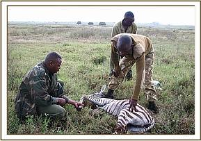 A young Juvenile Zebra calf is treated for snare wounds in Kari farm Naivasha
