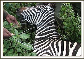 Zebra case on Crater lake there is a case of a loose snare that was removed