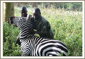 The Zebra after the snare is removed getting back on his feet