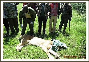 The lioness is lured out of the boma and darted