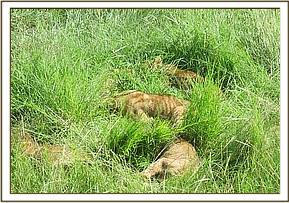 the team came across ten lion cubs who were basking at the edge of the road