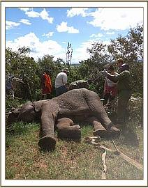 This elephant was seen limping on his front right limb