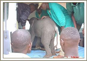 The calf is loaded into the plane to be flown to the Nairobi Nursery