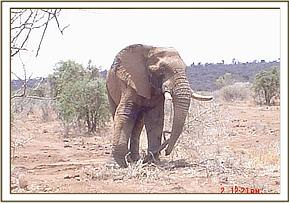 The bull elephant walking after treatment