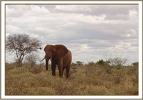 The young bull elephant without the tip of its tunk