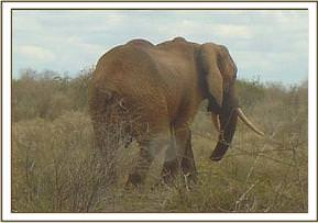 The tip of the young bull elephant's trunk has been cut off