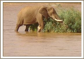 The elephants wound on its right fore leg can be clearly seen as it crosses the river