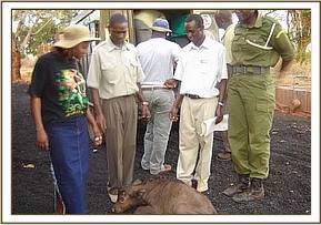The buffalo calf after it was rescued