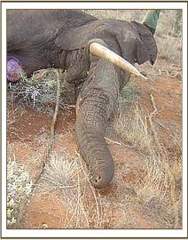 The elephant's severed trunk