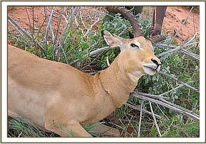 The Impala with the snare around its neck