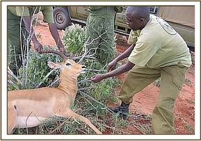 Removing the snare from the Impala's neck