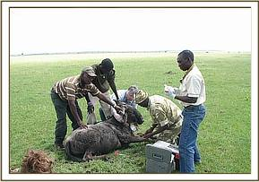 Placing a collar on a wildebeest