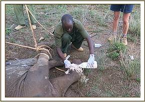 The vet unit remove the snare and clean the wound