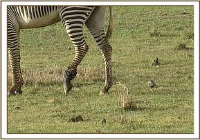 The snare around the zebras leg