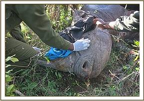 A veterinary assessment of a male black rhino which was suspected to be blind