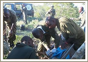 The vet team attending to the rhino