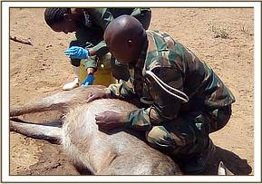 The vet team assess the waterbucks condition and take samples