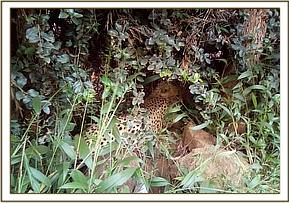 The cheetah is found in a thicket