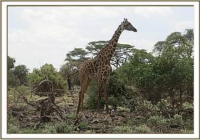 The giraffe is released and further intervention will be carried out