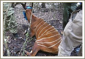 A bongo in Mount Kenya Game ranch was darted to trim overgrown hooves