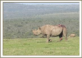 This young male rhino was reported to have been attacked by four lions