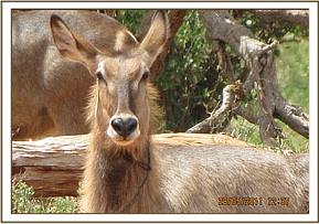 The snared waterbuck