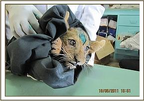 The rescued cub after treatment for a bruised forehead