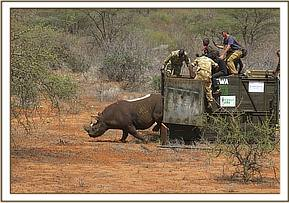 The rhino is released