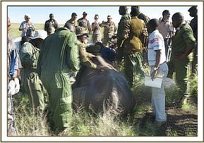 The rhino is prepared for translocation