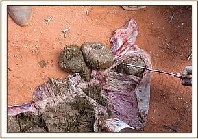 Dung was found compacted in the intestines