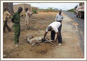 Examining the zebra before it was euthanized