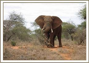 The elephant before it is darted
