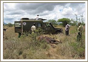 The immobilised calf with the Tsavo Vet Unit