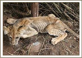The lion cub is in very poor condition