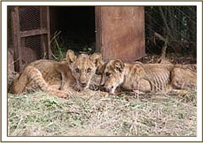 The two cubs are severely malnourished