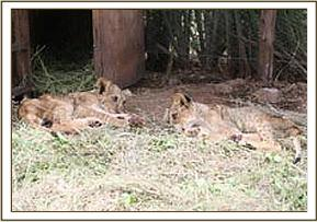The two rescued cubs at Ndolwa House